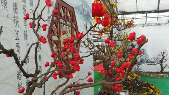 踏雪赏梅 钱柜娱乐手机版客户端首届梅花节在淮阳县开幕