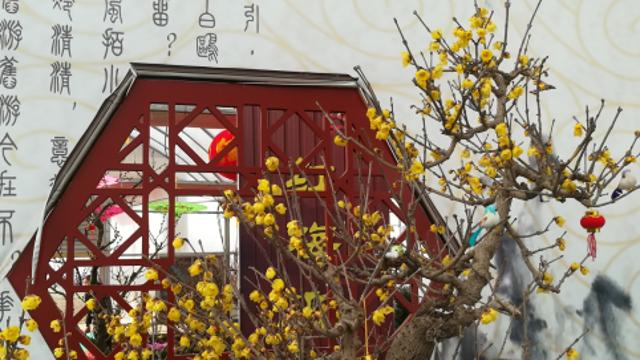 踏雪赏梅 周口首届梅花节在淮阳县开幕
