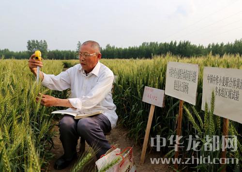 """麦地里的""""袁隆平"""":8旬老人研究小麦育种22年"""