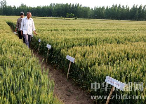 """鹿邑:8旬老人研究小麦育种22年 人称麦地里的""""袁隆平"""""""