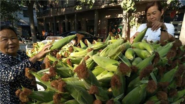 周口早熟玉米新鲜上市价格走俏