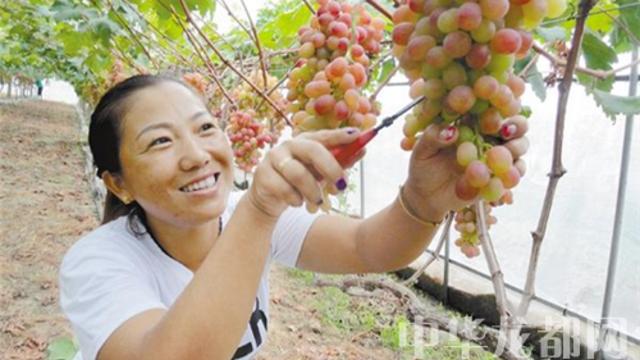 商水返乡农民工创建葡萄采摘园取得好收益