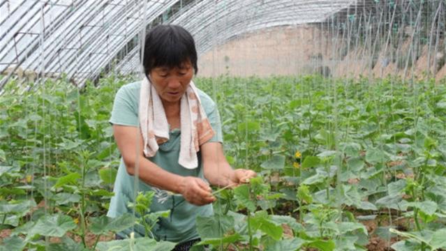 沈丘县发展特色农业种植助脱贫