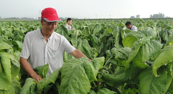 商水:种植烟叶增收致富