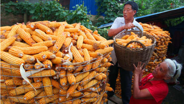 金秋时节 玉米丰收