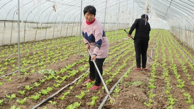 沈丘:发展大棚菜助农稳增收
