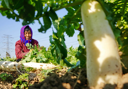 周口:白萝卜种植促增收