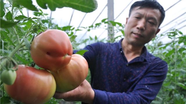 优质番茄上市