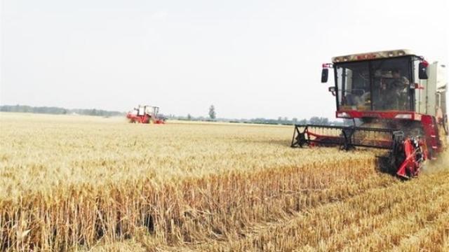紧抓有利天气条件抢收小麦