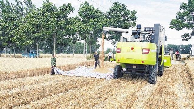 商水县平店乡农民喜收优质小麦