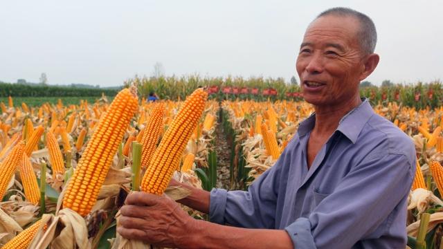 玉米喜获丰收