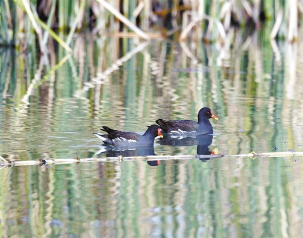 水鸟游弋湖中