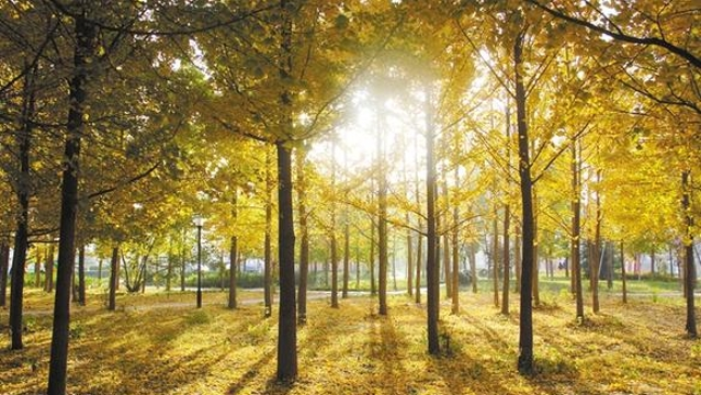 初冬的周口:最爱那一抹金黄