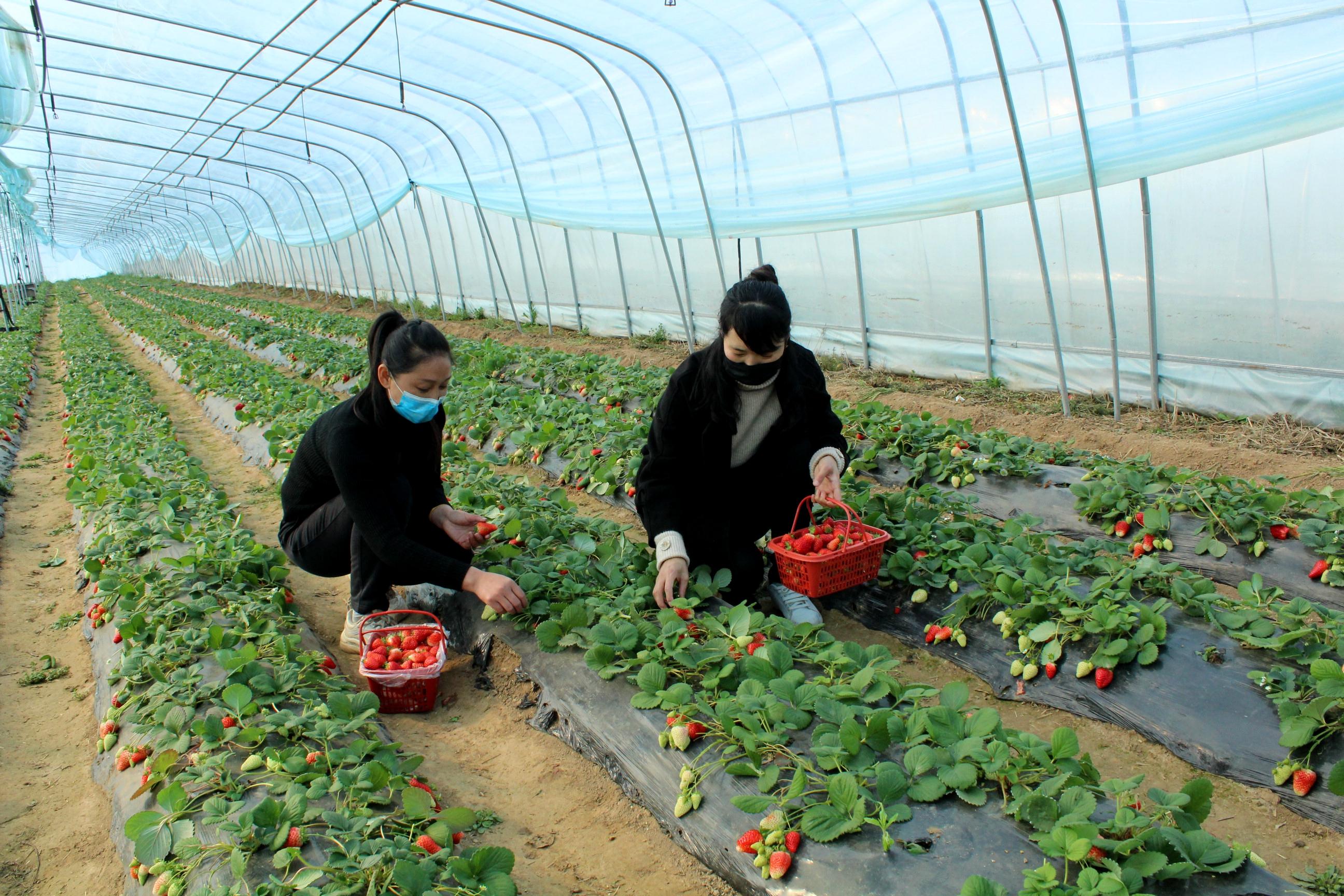 """西华:""""四对接""""助农解决草莓销售难"""
