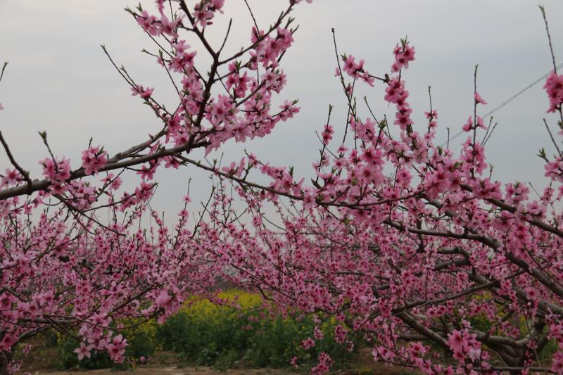 西华:万亩桃花开 迎君赏花来