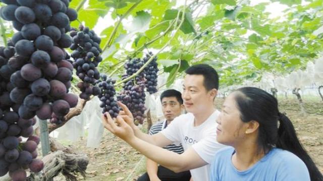 葡萄种植助力脱贫致富
