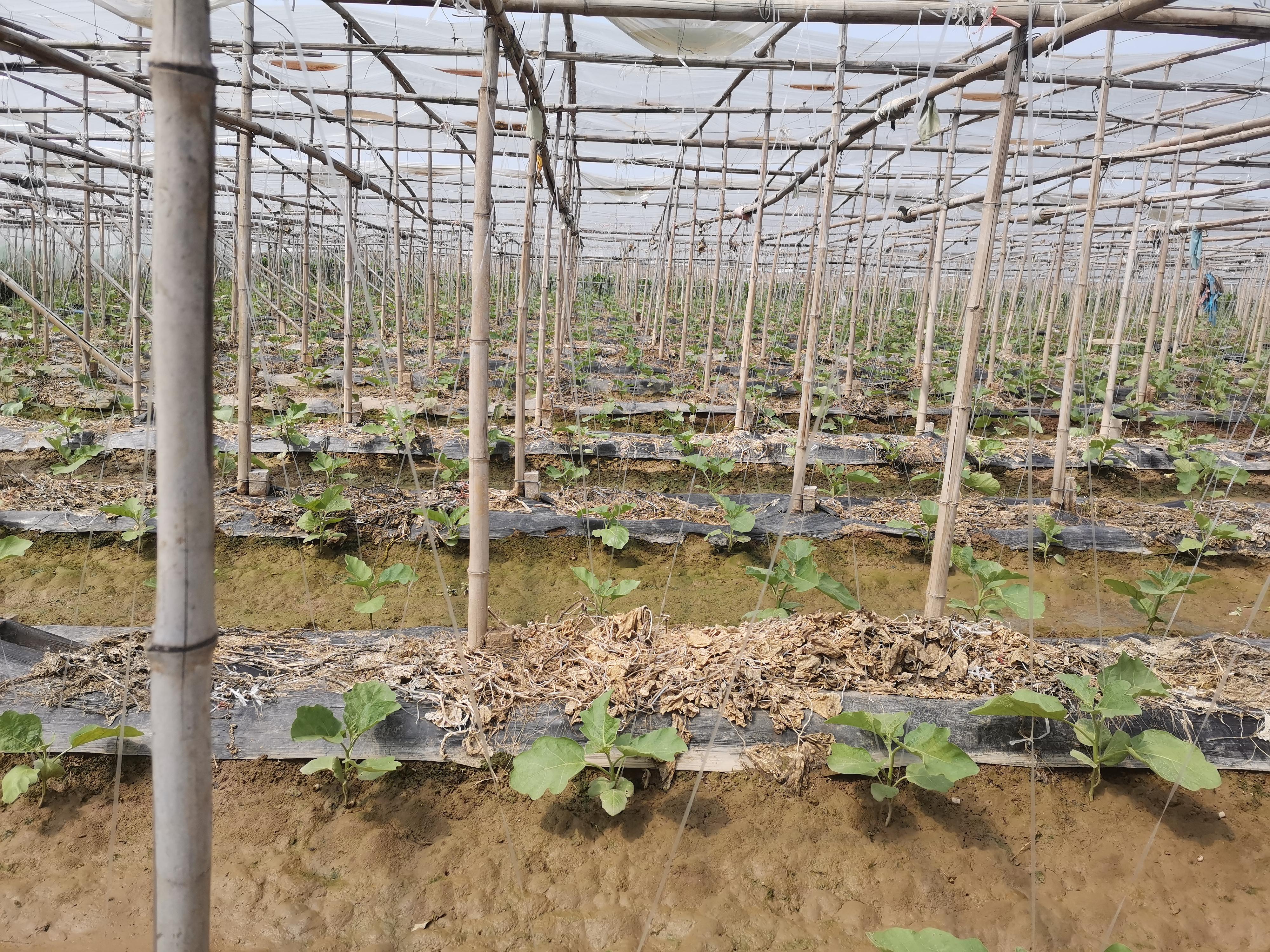 扶沟:发展蔬菜产业 推进乡村振兴