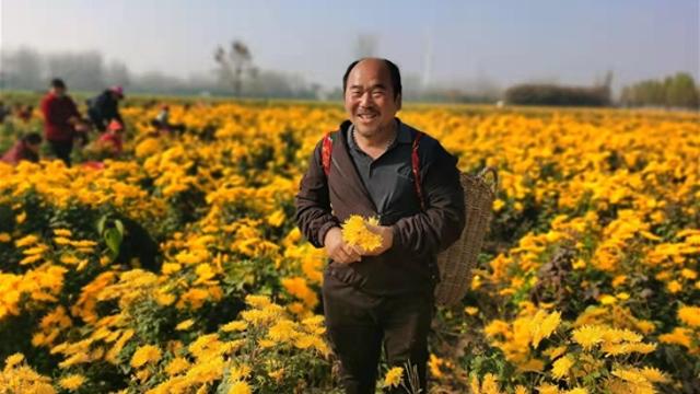 龙池头村120亩菊花喜获丰收