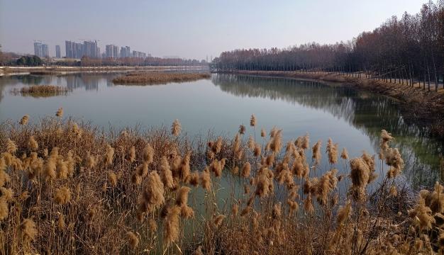 周口植物园:芦苇深深冬韵浓