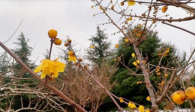 周口公园:冬日腊梅扑鼻香