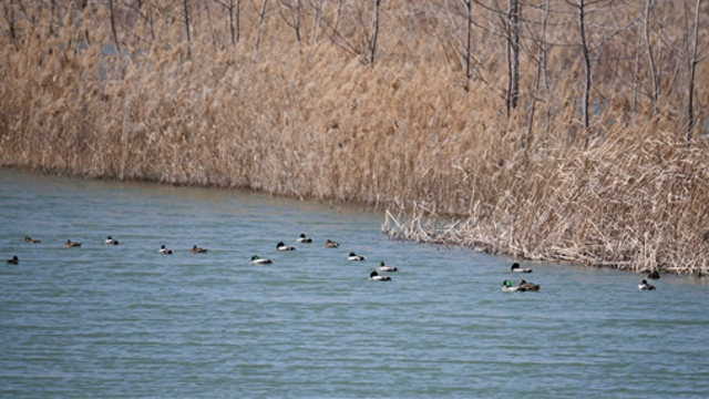 沙河湾湿地公园:春和景明 鸟鸣花香