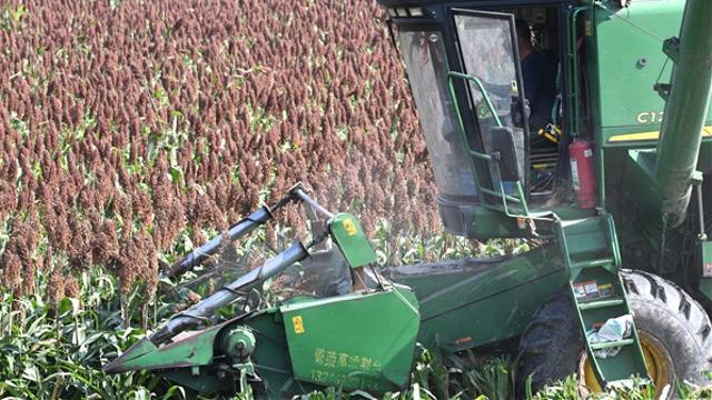 许湾乡:百亩高粱喜获丰收