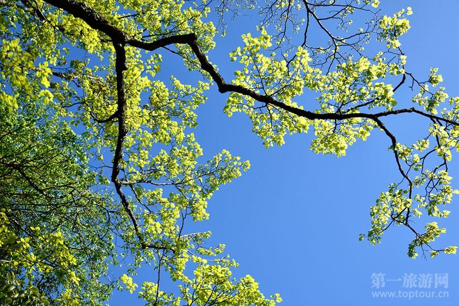 一花一世界,一叶一风景。五月的黄山,蓝天白云绿叶红花相互映衬,美似一幅画。满山遍野呈现出欣欣向荣的绿色,万绿丛中只是一点红。这时的红花,只能算是一片绿色中的小点缀和配角,主色调是大片大片生机无限的绿色,有嫩绿、翠绿、碧绿、草绿、墨绿等。黄山的绿叶,娇嫩欲滴,散发出淡淡的清香,沁人心脾。王辉 文/图  绿叶、黄山相呼应  说起黄山的绿叶,丝毫不比黄山五彩缤纷秋叶逊色  山风吹过,幼嫩的绿叶轻轻摆动,春风荡漾。  那些已长成型的叶子,在山巅很开心的舒展摇曳。  当