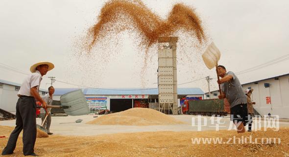 全市收麦836.4万亩