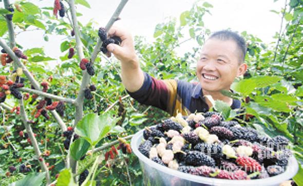 商水县桑葚种植基地内工人们采摘桑葚