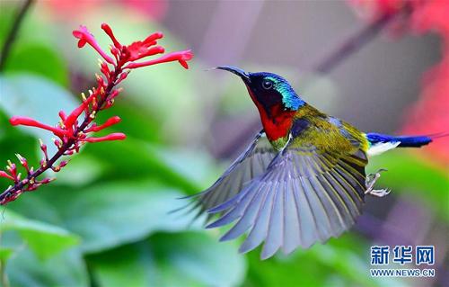 特写:冬季到福州来看太阳鸟